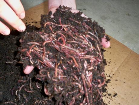 Red worms red wigglers worm composting with free shipping for Red worms for fishing